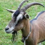 goat-60236_640